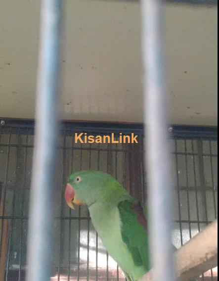 Raw parrot female for sale