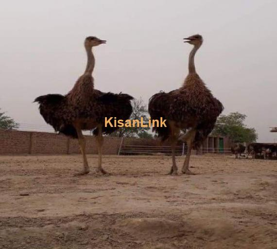 Ostrich شتر مرغ pair for sale Age: 11 month's  African Black Neck Imported