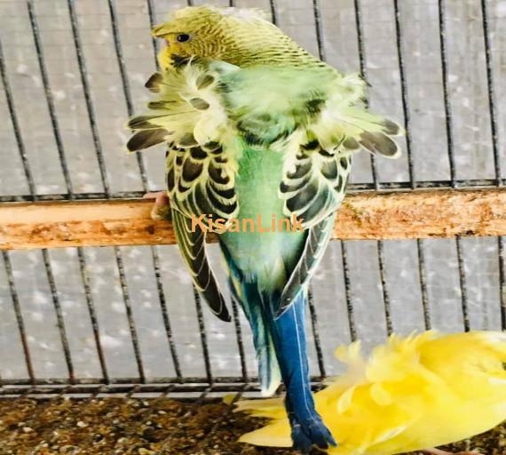 Parrot For Sale