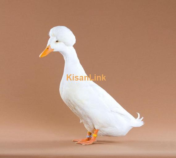 Duck For Sale