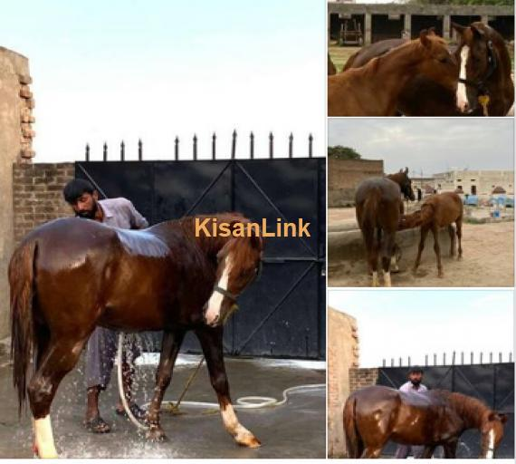 Horse for Sale