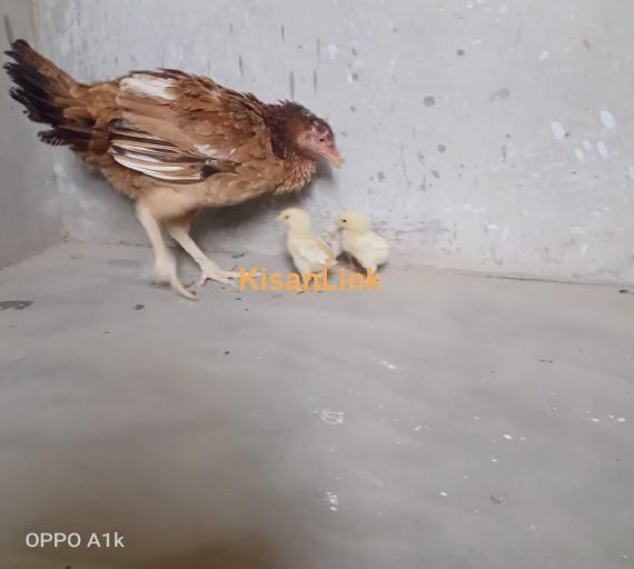 PURE aseel hen with 2 chicks