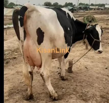 cow for sale  kisanlink