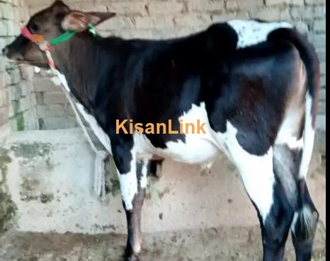cows for sale  kisanlink